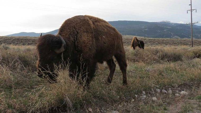 Buffalo at Jackson Hole