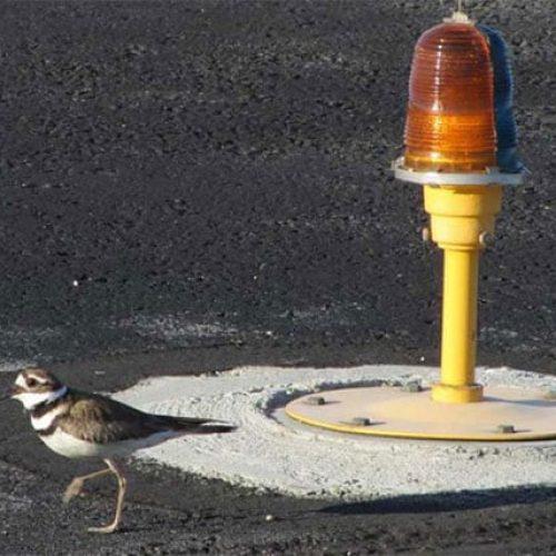 Bird on runway